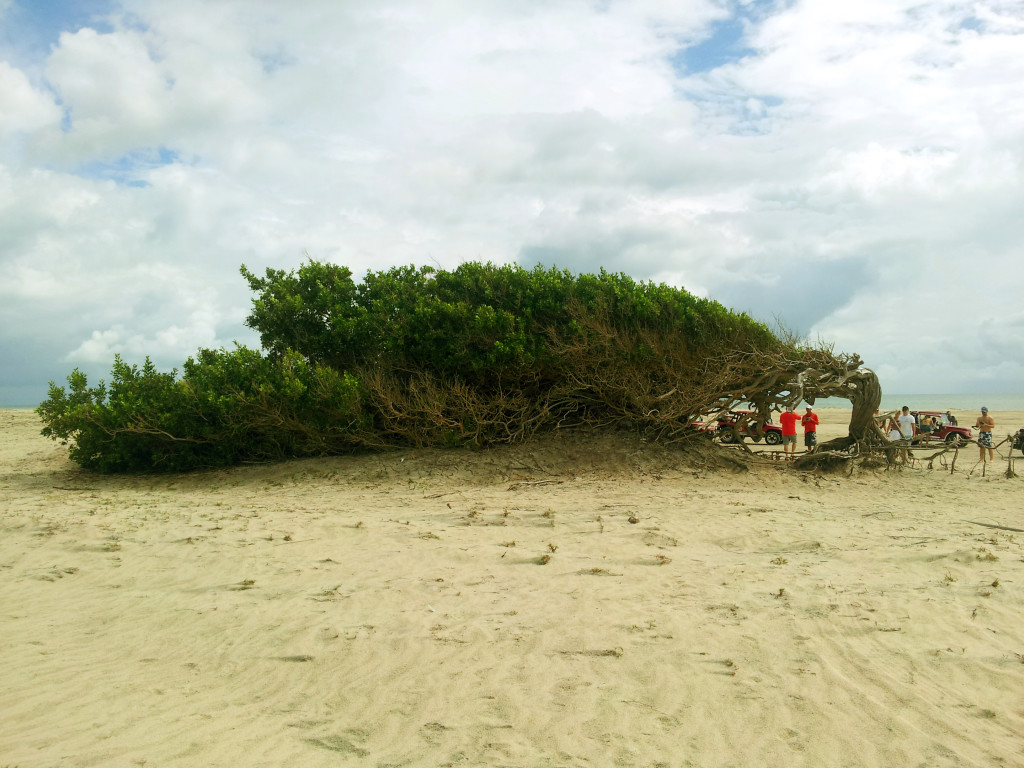 árvore da preguiça Jericoacoara