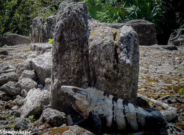 Iguana em San Gervásio