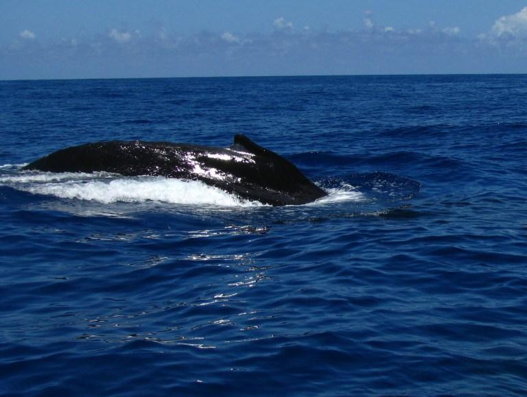Baleia Jubarte no Sul da Bahia. Foto: Marlyana Tavares